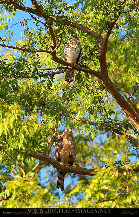 Cooper's Hawk and Juvenile, Chicken Hawk, Southern California