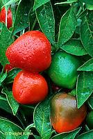 HS41-014b  Pepper - Jingle Bells variety