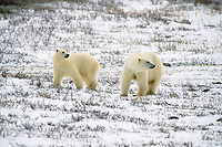 second year polar bear cubs, Ursus maritimus, Churchill, Manitoba, Canada, Arctic, polar bear, Ursus maritimus