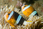 Anilao, Philippines; two adult Clark's Anemonefish (Amphiprion clarkii) swimming in their banded Leathery Sea Anemone (Heteractis crispa)