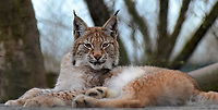 2017 10 29 Eurasian Lynx escapes from Borth Animalarium, Wales, UK