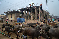 Buffaloes walk past a construction site in village Gorikothapally, Telangana, Indiia, on Friday, February 8, 2019. Photographer: Suzanne Lee for Safe Water Network