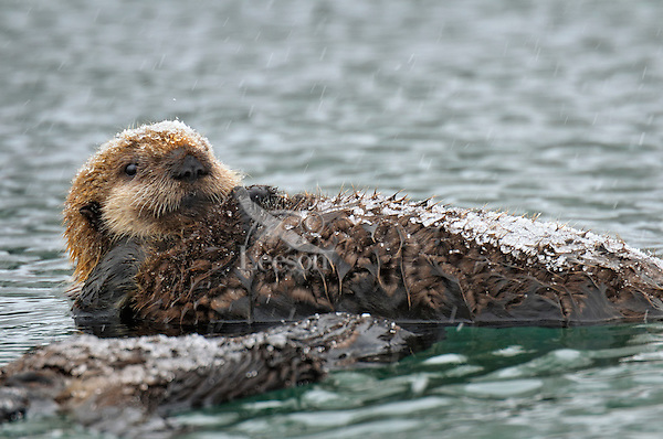 Alaskan or Northern Sea Otter (Enhydra lutris) pup with light coat of icy snow.