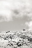 USA, Alaska, group of caribou grazing in the snow, Denali National Park (B&W)