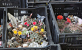 Saturday, 18 May 2013, London, UK. Planting and contruction work continues for the Chelsea Flower Show 2013 ahead of its opening next week. Picture: Cacti in crates before being added toa a display.