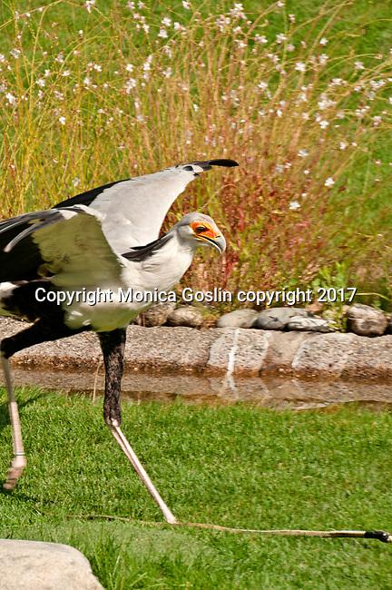 Secretary Bird at the Locarno Bird Show, Falconry Show (Falconeria Locarno)