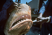 Three meter Tiger Shark, Galeocerdo cuvier, caught in anti-shark net awaits dissection and jaw extration. Natal Sharks Board, Umhlanga, South Africa, Indian Ocean, Southern Africa