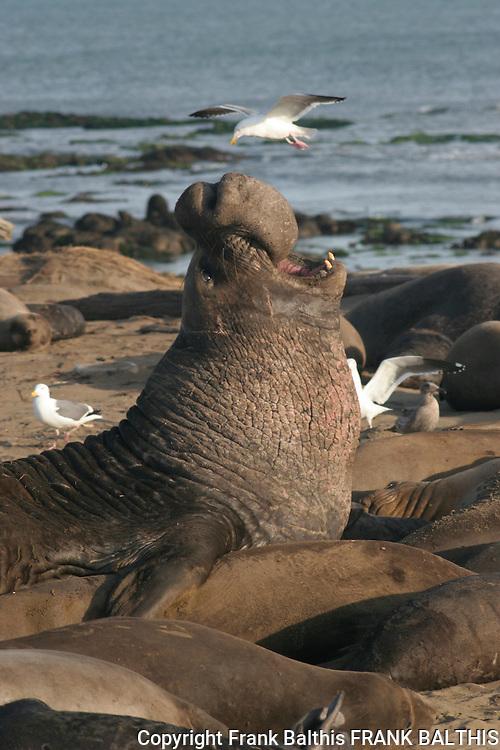 northern elephant seal bull trumpets