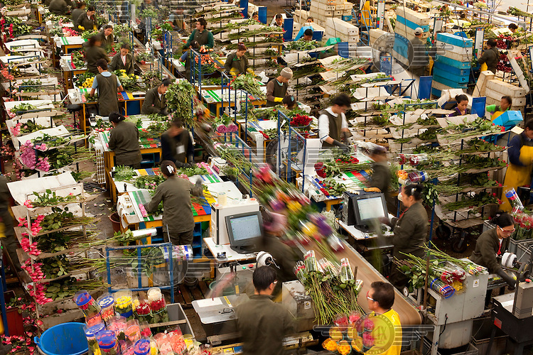 Workers prepare flowers to leave the plantation in the 'post-cosecha' or 'after-harvest' phase on an assembly line at MG Consultores, a flower plantation in Chia.