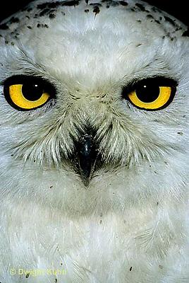 OW16-005c  Snowy Owl - close-up of face - Nyctea scandiaca or Bubo scandiacus