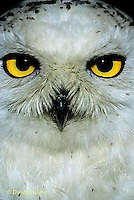 OW16-005c  Snowy Owl - close-up of face - Nyctea scandiaca or Bubo scandiacus
