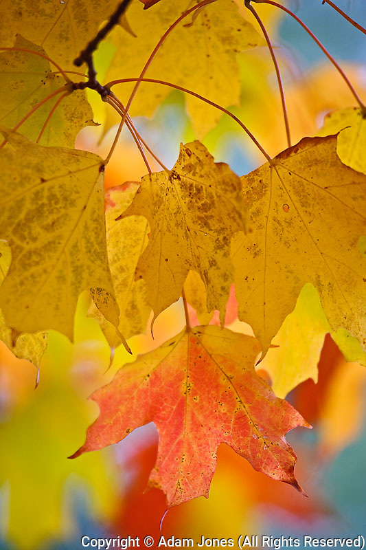 Red and yellow maple leaves, in the southern Appalachian Mountains near Grandfather Mountain, North Carolina