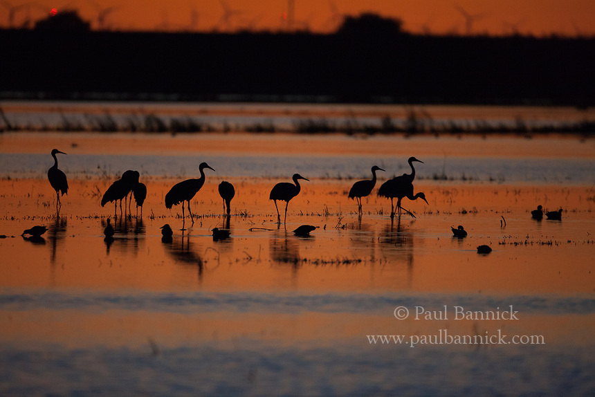 A flock of Sandhill Cranes, Grus canadensis, settles down at sunset in San Joaquin County, California.