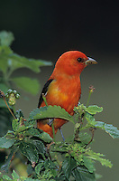 Scarlet Tanager, Piranga olivacea,male on Mesquite tree, South Padre Island, Texas, USA