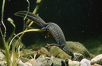 Kammmolch, Kammolch, Kamm-Molch, Weibchen bei der Eiablage, rollt Ei in Wasserpflanze ein, Molch, Molche, Triturus cristatus, warty newt, European crested newt