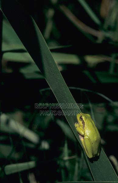 European Treefrog, Hyla arborea, adult sleeping on Cattail leave, Illmitz, Lake of Neusiedl, Austria, May 1996