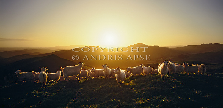 Sun setting over a goat farm in the Manawatu/Whanganui Region. New Zealand.