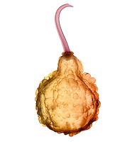 An X-ray of a fall decorative gourd.