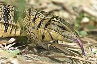 Trinidad Golden Tegu Lizard - Tupinambis (teguixin) cryptus