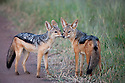 Tanzania, Serengeti, black-backed jackals (Canis mesomelas)