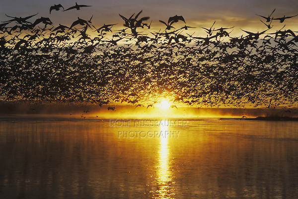 Snow Goose (Chen caerulescens), flock lifting off at sunrise, Bosque del Apache National Wildlife Refuge , New Mexico, USA,