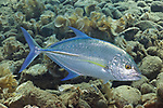Carangoides orthogrammus, Yellow-spotted trevally, Ambon, Indonesia