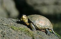 Europäische Sumpfschildkröte, beim Sonnenbad auf einem Ast, Sumpf-Schildkröte, Emys orbicularis, European pond turtle, European pond terrapin