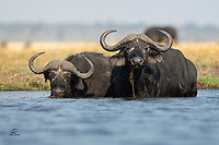 """They look like they want to take your lunch money, or perhaps like you owe them money. African Buffalo or Cape Buffalo (Syncerus caffer) are big and can be incredibly bad-tempered. They will take on lions and hyenas when they have the advantage in numbers. These are mature, older bulls - note the white hair near their eyes and noses, and their huge """"bosses"""" - the bony area on their foreheads, where the horns meet."""