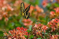 Giant Swallowtail Butterfly (Papilio cresphontes) inflight..