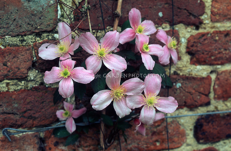 Clematis montana var. rubens 'Superba' climbing on wire trellis attached to a brick wall