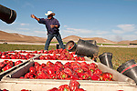 Jorge the labor manager fills the bins on the trailers to capacity during the organic red bell pepper harvest by migrant workers near San Lucas, in the Salinas Valley of California..