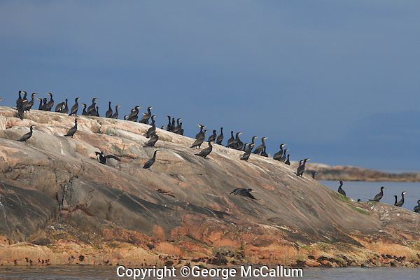 Eurasian Shags flying off from small island in early evening light Mausundvaer Norway