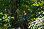 Cassowary in the forest. Cassowary (Casuarius casuarius johnsonii) in the forest. The cassowaries are ratites (flightless birds without a keel on their sternum bone) in the genus Casuarius and are native to the tropical forests of New Guinea, nearby islands, and northeastern Australia. There are three extant species. The most common of these, the southern cassowary, is the third tallest and second heaviest living bird, smaller only than the ostrich and emu. Cassowaries feed mainly on fruit, although all species are truly omnivorous and will take a range of other plant food including shoots, grass seeds, and fungi in addition to invertebrates and small vertebrates. Cassowaries are very shy, but when provoked they are capable of inflicting injuries, occasionally fatal, to dogs and people.