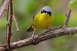 Masked Yellowthroat (Geothlypis aequinoctialis), Southeast Brazil.