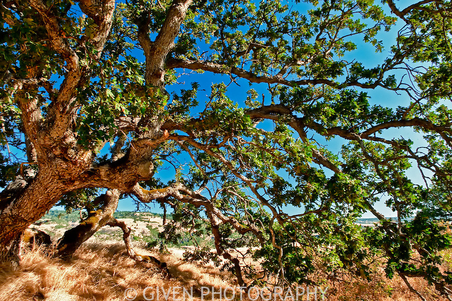 Oak, Oregon