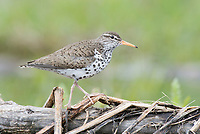 Spotted Sandpiper (Actitis macularius) in breeding plumage. Okanogan County, Washington. May.