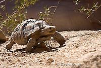 0609-1024  Desert Tortoise (Mojave Desert), Gopherus agassizii  © David Kuhn/Dwight Kuhn Photography