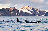 killer whale or orca, Orcinus orca, pod of whales, surfacing, at sunset, with snow covered mountains in background, Kenai Fjords National Park, Alaska, USA, Resurrection Bay, aka Blying Sound and Harding Gateway, Pacific Ocean