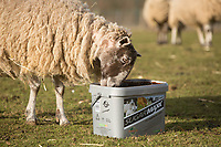 In lamb ewes using a mineral lick<br /> &copy;Tim Scrivener Photographer 07850 303986<br /> ....Covering Agriculture In The UK....