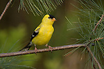 "Carduelis tristis, American Goldfinch, goldfinch, finch, yellow, black, wings, feathers, bird, adult, breeding plumage, breeding, plumage, sing, canary, wild canary, blue sky, blue, cute, sweet, pretty, perky, cup nest, thistle, small flocks, flock, flit, seeds, insects, late nester, small, 5"", migrates, migrate, twitter, song, singing, bright yellow, bright, American, Goldfinch, gold finch, fauna, perched, perch, perching, spring, summer"