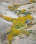 Carrizo Plain National Monument, CA: Flowering fiddlenecks (Amsinckia sp) in a wash with distant storm clouds