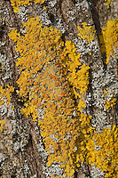 Gewöhnliche Gelbflechte, Gelbe Wandflechte, Goldgelbe Wandflechte, Gelbe Wandschüsselflechte, Flechte auf der Rinde, Borke eines Baumes, Xanthoria parietina, Parmelia parietina, common orange lichen, yellow scale, maritime sunburst lichen, shore lichen, golden shield lichen