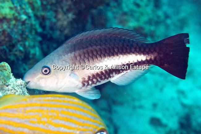 Scarus vetula, Queen parrotfish, intermediate, Florida Keys