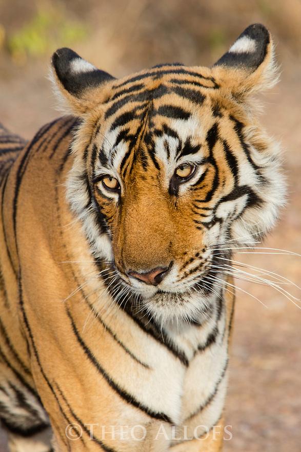India, Rajasthan, Ranthambhore National Park, Bengal tiger, close-up, portrait