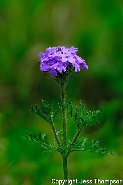 Verbena Flower, Georgetown, TX
