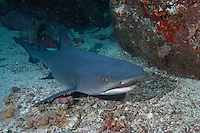 A reef shark (Carcharhunus perezii) as seen on a night dive at Cocos Island off the coast of Costa Rica.