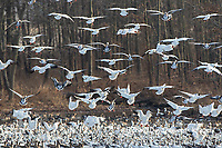 00754-02613 Snow Geese (Anser caerulescens) landing on lake Marion Co. IL