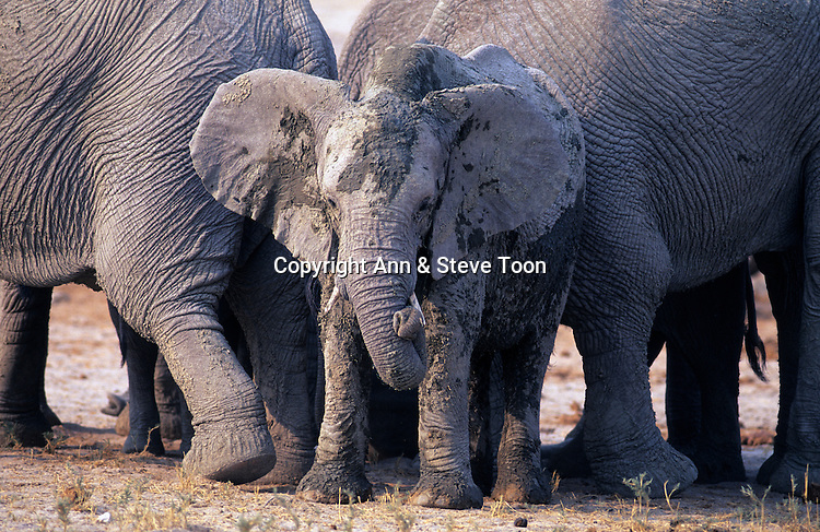 Elephant calf, Loxodonta africana, Addo national park, South Africa