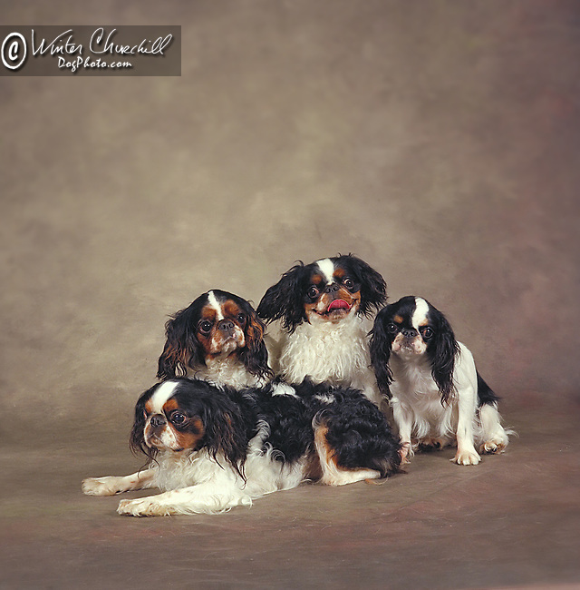 Cavalier King Charles Spaniel<br /> <br /> <br /> Shopping cart has 3 Tabs:<br /> <br /> 1) Rights-Managed downloads for Commercial Use<br /> <br /> 2) Print sizes from wallet to 20x30<br /> <br /> 3) Merchandise items like T-shirts and refrigerator magnets