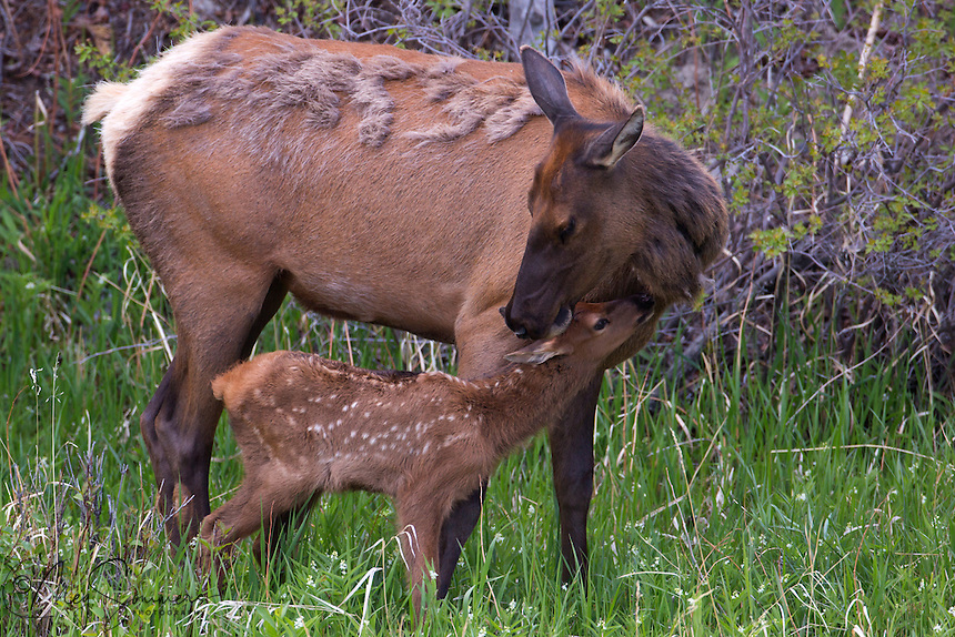 The early hours of a young elk (Cervus canadensis) calf's life involved a great deal of bonding with it's mother and nurturing. This includes nursing, of course, but also licking each other by both and tender moments in which they are clearly connecting with one another.